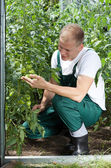 Gardener working in greenhouse — Stock Photo
