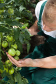 Gardener caring about tomatoes — Stock Photo
