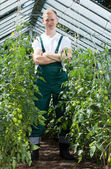 Gardener among tomatoes in greenhouse — Stock Photo