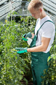 Gardener spraying tomatoes in greenhouse — Stock Photo