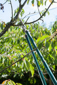 Pruning in a orchard — Stock Photo