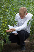 Specialist checking tomatoes condition — Stock Photo