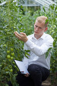 Checking tomatoes condition  — Stock Photo