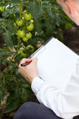 Tomatoe expert in a greenhouse — Stock Photo