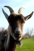 Cool goat — Stock Photo