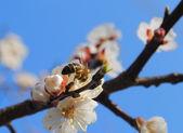 Apricot blossom mit biene — Stockfoto