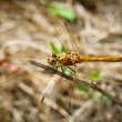 Yellow dragonfly with red velvet mites sitting on branch — Stock Photo #25507801