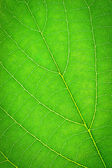 Green leaf, texture background, macro — Stock Photo