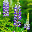 Stock Photo: Wild pink purple violet blue lupines growing in summer green field