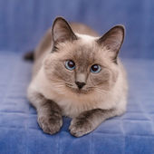 Cute colorpoint blue-eyed cat lying on blue sofa and looking at camera — Stock Photo