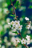 Blossoming tree brunch with white apple or cherry flowers on green and dark blue background, macro, closeup, filter effect — Foto de Stock