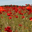 Stock Photo: Field of Poppies