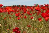 Field of Poppies — Foto Stock