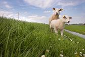 Sheep and lamb — Stockfoto