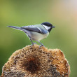 Great Tit (Parus major) — Stock Photo #24462813
