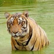 Tiger in een water — Stockfoto