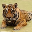 Tiger in a water — Stock Photo #25699611