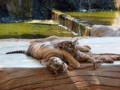 Sleeping tiger cubs — Stock Photo