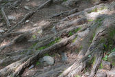 Roots of a tree, France — Stock Photo