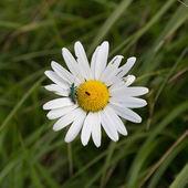 насекомое на маргаритка — Стоковое фото