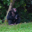 Stock Photo: Chimpanzee