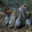 Barbary Macaque — Stockfoto #34644701