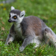 Lemur Catta — Stock Photo #34649629