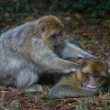 Barbary Macaque — Stockfoto #34649639