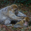 Stock Photo: Barbary Macaque