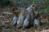 Barbary Macaque — Foto de Stock