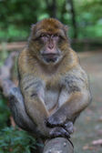 барбари макак — Стоковое фото