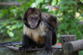 Yellow-breasted tufted capuchin — Foto de Stock