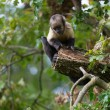 Yellow-breasted tufted capuchin — Stock Photo