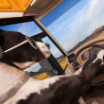Great Dane dog driving an RV — Stock Photo #24076731