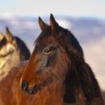 Постер, плакат: Wild Mustangs