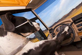 Great Dane dog driving an RV — Stock Photo
