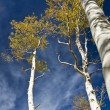 Stock Photo: Autumn Aspen Grove