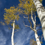 Autumn Aspen Grove — Stock Photo #24233755