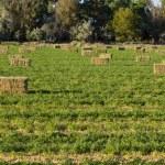 Alfalfa Hay Bales in Ranch Field — Stock Photo