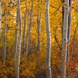 Autumn Aspen Grove — Stock Photo