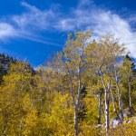Autumn Aspen Grove — Stock Photo #24234509