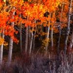 Autumn Aspen Grove — Stock Photo #24234537