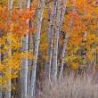Autumn Aspen Grove — Stock Photo #24236115