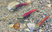 Three Salmon Spawning — Stock Photo