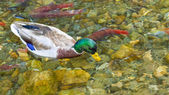 Duck and Spawning Salmon — Stock Photo