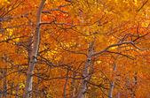 Autumn Aspen Grove — Stock Photo
