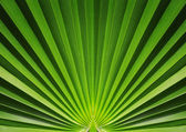 Palm leaf close up — Stock Photo