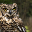 Stock Photo: Horned owl