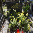 The blooming chrysanthemums on the grave — Stock Photo