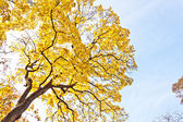 Autumn tree with yellow leaves against the blue sky — Stock Photo